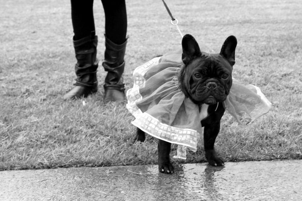Black french bulldog sydney